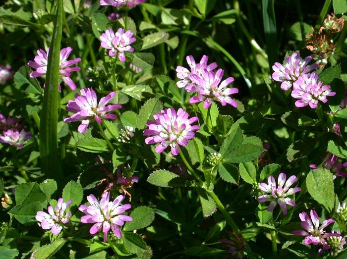 http://erick.dronnet.free.fr/belles_fleurs_de_france/images/trifolium_resupinatum.jpg
